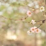 JP_blossom