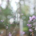 JP_purplebuds